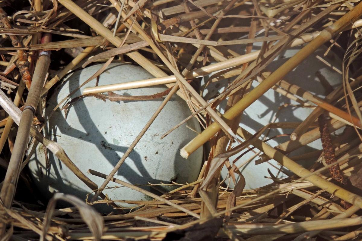 2  Eier bei Schwans